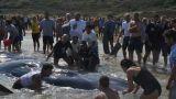 Capodogli spiaggiati a Punta Penna