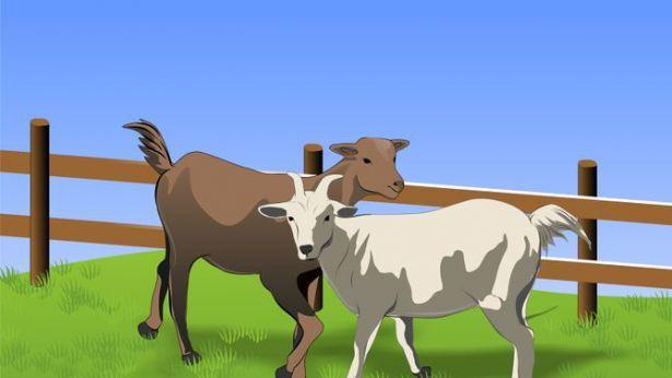 Recinto di capra