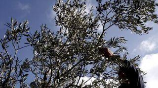 Caduta da albero di ulivo