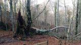 Vastogirardi: l'albero caduto