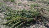 Una pianta di canapa