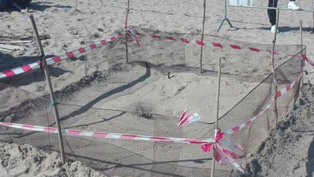 Campomarino: il nido di tartarughe