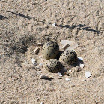 Uova di fratino