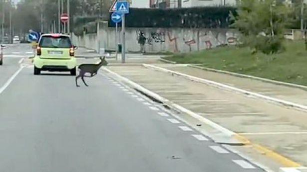Un capriolo in una strada di Pescara