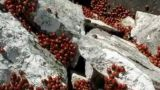 Le coccinelle sulle rocce in Molise